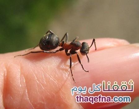 """تعرفوا معنا على فوائد قرصة النملة وماذا يحدث للجسم بسببها """"مفاجأة"""""""