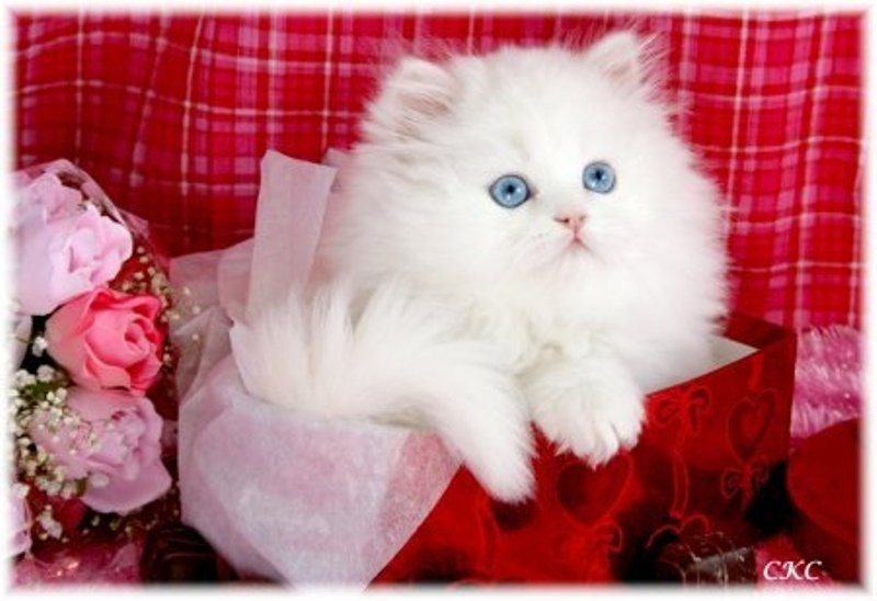 beautiful cats صور قطط جميلة (1)