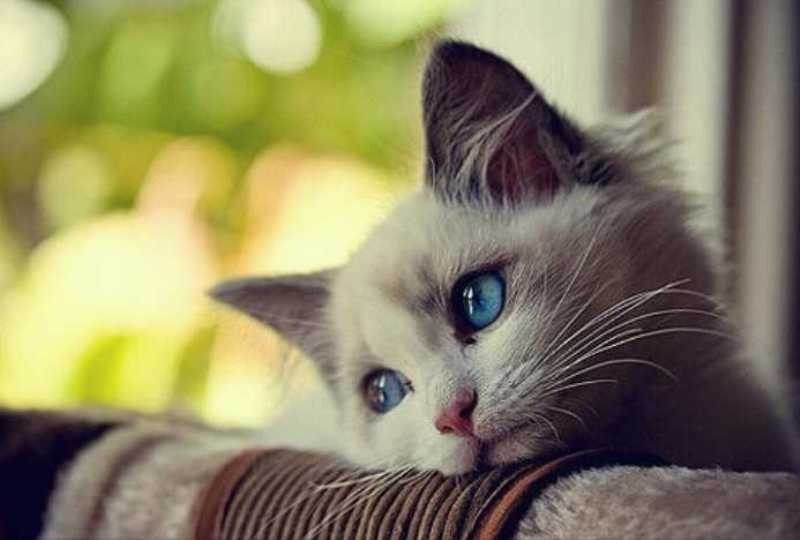 beautiful cats صور قطط جميلة (12)