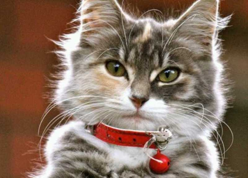 beautiful cats صور قطط جميلة (18)