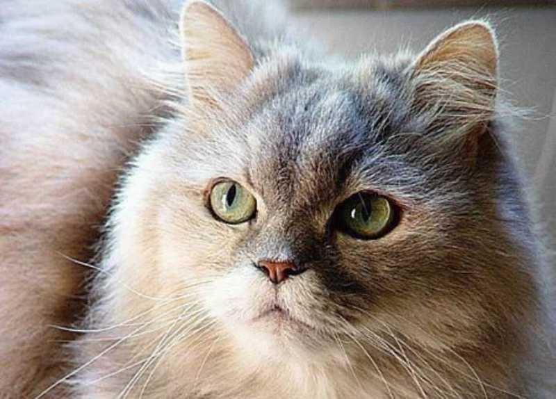 beautiful cats صور قطط جميلة (21)
