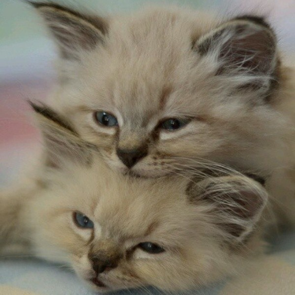 beautiful cats صور قطط جميلة (44)