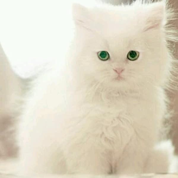 beautiful cats صور قطط جميلة (50)