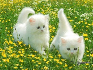 beautiful cats صور قطط جميلة (54)