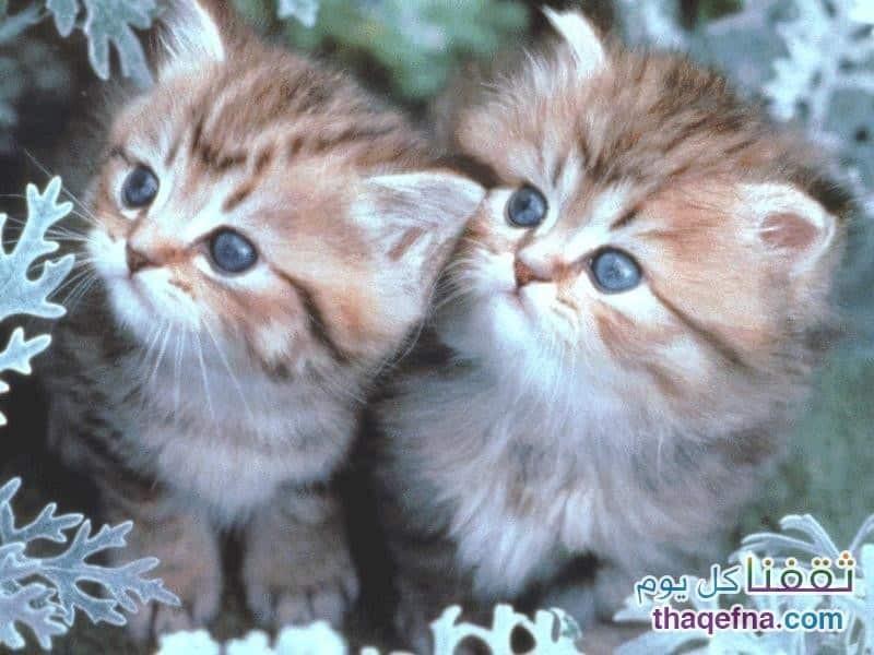 beautiful cats صور قطط جميلة (55)