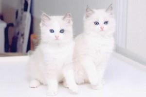 """بالصور أجمل قطط في العالم … روعه """"beautiful cats"""""""