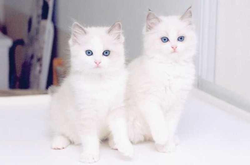 بالصور أجمل قطط في العالم روعه Quot Beautiful Cats Quot