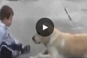 المشهد الذى أحزن الكثير من الناس .. كلب مثال في الوفاء  !! شاهدوا ماذا صنع هذا الكلب عندما شاهد طفل معاق حركيا