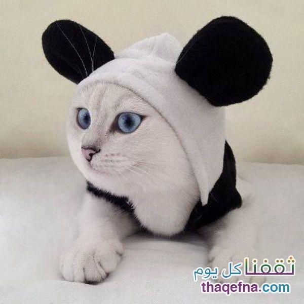 القطة كوبي