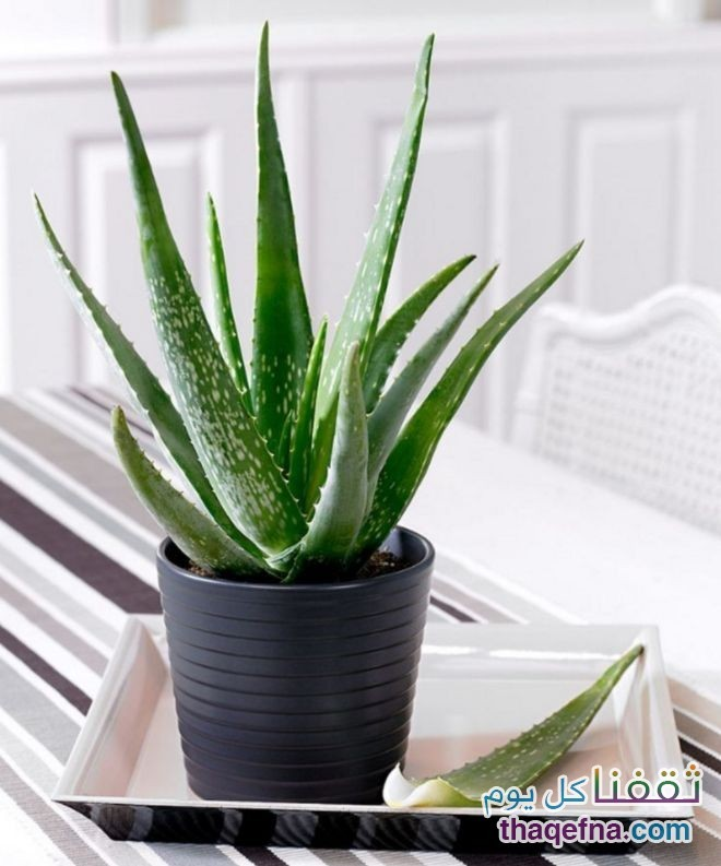 وضع-هذه-النباتات-في-غرفة-النوم-للحصول-علي-هواء-نظيف4