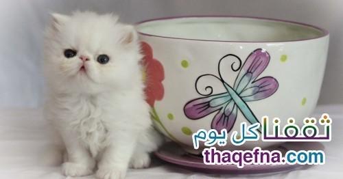 قط فنجان الشاي