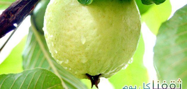 الجوافة فاكهة الخريف وذات فوائد عديدة تمتعو بالطعم والرائحة . . . فوائد الجوافة لمن لا يعرفها