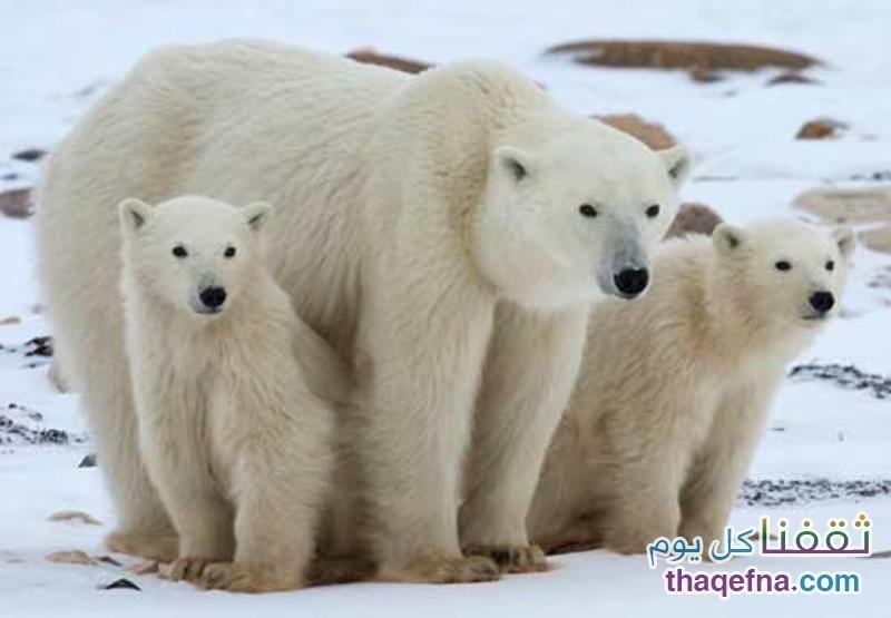 الدب الأبيض