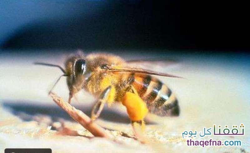 نحل العسل الأفريقي