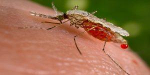 فيروس حمى الضنك