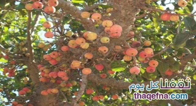 شجرة الجمينز